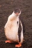 Gentoo penguin chick on Aitcho Islands in Antarctica