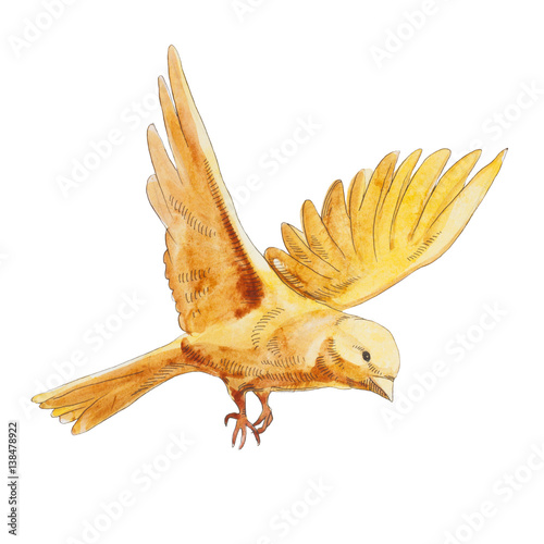 Watercolor yellow canary flying and  isolated on white background. yellow natural bird - 138478922