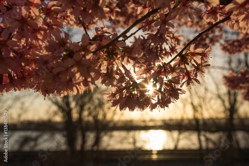 Cherry Blossom Sunrise Poster