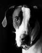 Black and white portrait of a great dane.