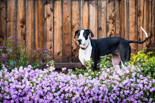 Obraz Great dane dog standing in flowering purple lantana.