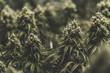 Large isolated indoor medical marijuana bud background