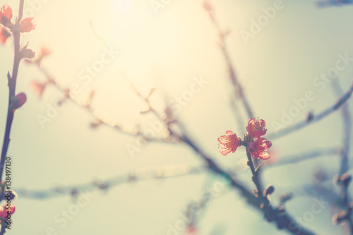 Flowering fruit tree branches with pink flowers in sunlight