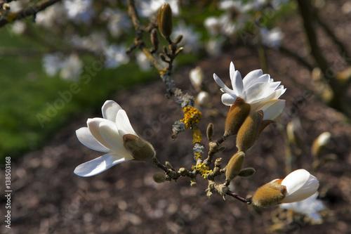 Magnolia stellata 'Rosea' Poster