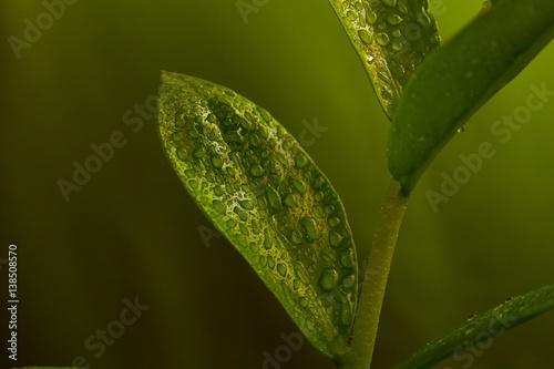 Grünpflanze mit Tau.