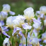 Gorgeous purple iris flower in the garden. Spring floral background