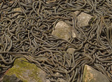 Group of common garter snakes (sub species red sided garter snake Thamnophis sirtalis parietalis) mating in Narcisse Snake Dens, Manitoba, Canada.