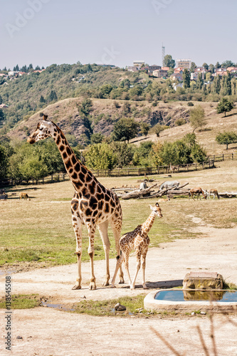 Poster Rothschild's giraffe with cub, photo filter