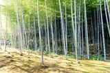 Bamboo forest in Japan, Arashiyama