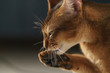 young abyssinian cat licking paw closeup portrait, shallow focus