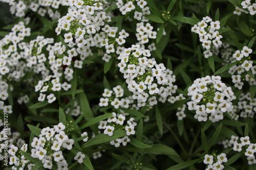 Hintergrund von weißen Blumen alissum 20404