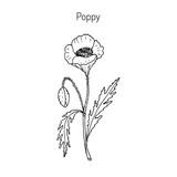 Opium Poppy or Papaver somniferum