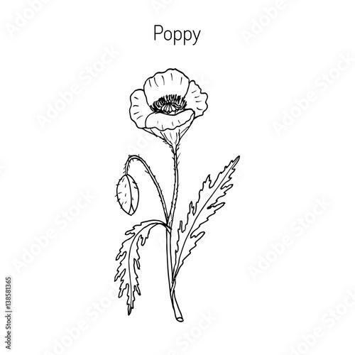 Opium Poppy or Papaver somniferum - 138581365