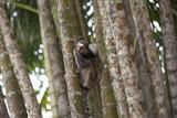 petit singe de Rio de Janeiro