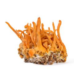 Fresh Cordyceps mushroom