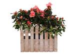 Kwiaty za płotem - Azalia