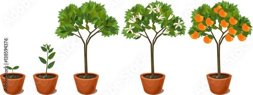 Growing orange tree. Life cycle plant