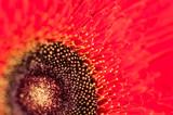 Macro image of red gerbera. selective focus