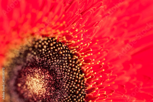Macro image of red gerbera. selective focus