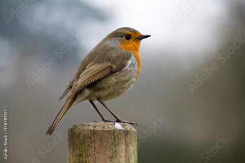 Poster European robin on fence posts in winter