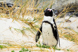 Cute african penguin sleeping at Boulders Beach South Africa