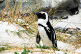 Cute african penguin or jackass penguin at Boulders Beach South Africa