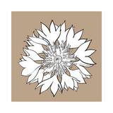 Open black and white cornflower blossom, top view, sketch style vector illustration isolated on brown background. Realistic top view hand drawing of wild, field cornflower