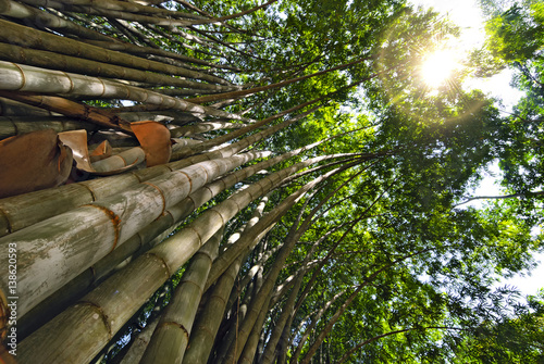 Giant bamboo. Through the bamboo tops of the sun's rays make their way.