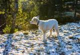Våran hund Morris är med på en vintrig skogspromenad