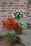 Rosenstämmchen rot und rosa 16