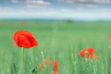 poppy flower on field spring season