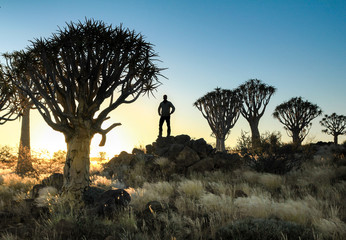Man standing between silhouetted quiver trees. sunset sunrise in desert.
