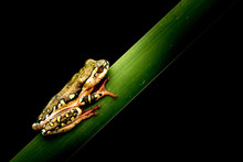 African tree frog