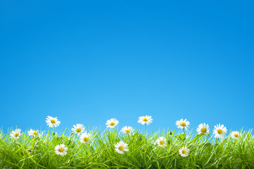 Border of Sweet Daisies in Green Grass with Clear Blue Sky