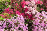 Azaleen in voller Blüte im Garten
