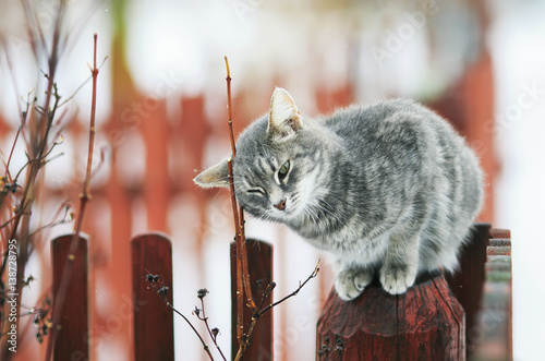 Poster tabby cat walks in the spring in the village and fondled