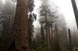 Foggy Sequoia National Park