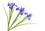 Spring purple iris