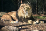 Lion laying in the sun - Staring - Sunny day
