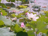 Close up pink color fresh lotus blossom or water lily flower blooming on pond background, vertical.