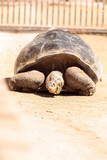 San Salvador Island tortoise known as Chelonoidis nigra darwini