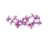 lilac flowers isolated - 138786766