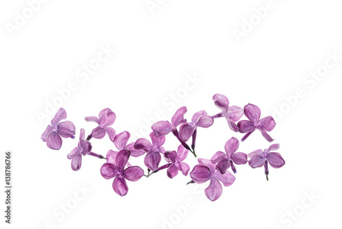 lilac flowers isolated Plakat
