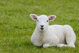lamb lying on pasture - 138792513