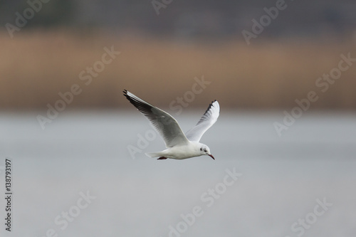 portrait of one flying natural common black-headed gull ( Larus ridibundus) - 138793197