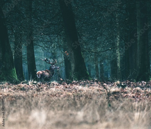 Red deer stag at edge of winter forest. - 138811736