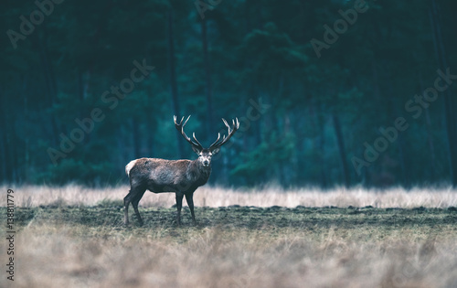 Red deer stag standing in forest meadow. - 138811779