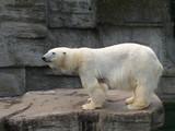 Eisbär, Ursus maritimus, Polarbär