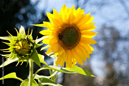 Flower of sunflower against the blue sky and the forest