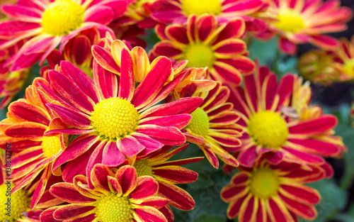 Fotobehang Gerbera red chrysanthemums daisy flower